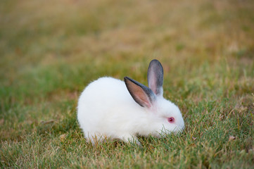 Cute little fluffy rabbit with red eyes and black ears on green grass