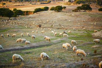 Sheep herd on pasture in Sardinia Wall mural