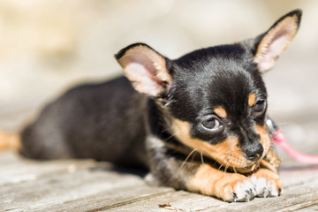 Female black and tan Chihuahua puppy dog outdoors enjoying warm weather