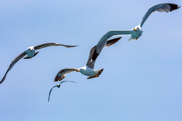 Seagulls hover in sky