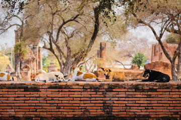 Stray dogs crouch on a precinct wall around Wat Phra Ram temple in Ayutthaya, Thailand.