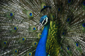 Head shot of Indian Peacock while presents his beautiful velvet tail feathers, exotic nature