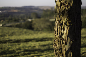 Tree at the field