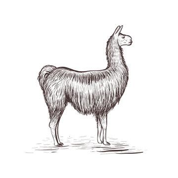 Lama sketch vector illustration. Lama