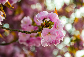 delicate pink flowers blossomed Japanese cherry trees on blury background