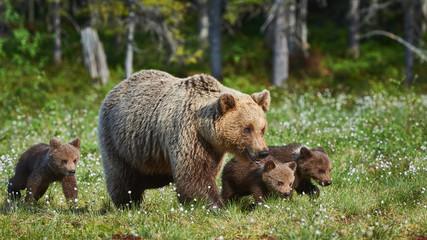 Female brown bear and her cubs, Ursus arctos