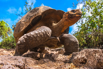 The Galapagos Islands. Ecuador. Galapagos tortoise in motion. Island of Santa Cruz. The old turtles that saw Charles Darwin in the Galapagos Islands.