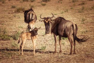 Wall Mural - Africa. Kenya. A herd of wildebeest. Antelope Gnu looks at the camera. Hatchling antelopes. Preserve in Kenya. Animals of Africa.