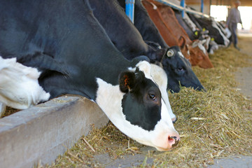 Dairy farm, feeding cows on farm