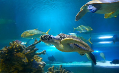 Cheloniidae (sea turtle) is swimming in aquarium