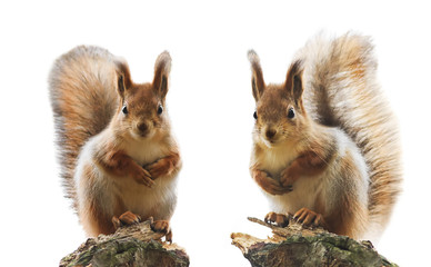 Photo sur Aluminium Squirrel portrait of two cute red squirrel with fluffy fur and tail on a white isolated background
