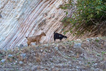 Goats standing on the rocks. Kefalonia island. Greece. Europe.