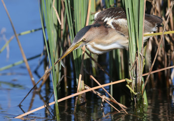 A female little bittern sits on the branches of a reed with a small fish in its beak