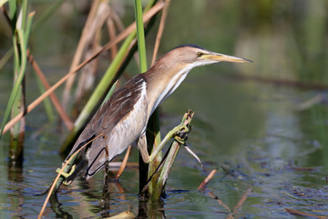 A female little bittern sits on the branches of a reed