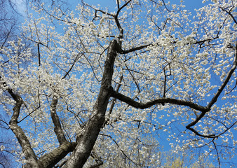 Blooming white cherry trees in spring against a blue sky.