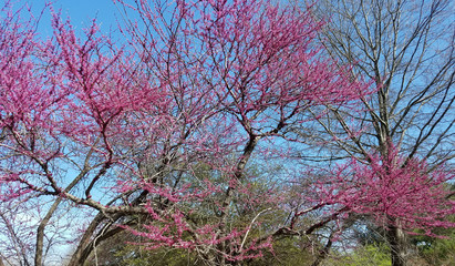 Blooming pink flower trees in spring