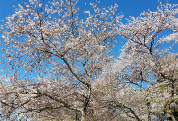 Blooming cherry trees in spring against a blue sky.