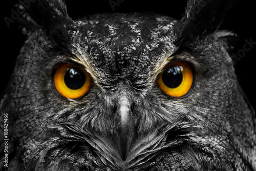 Fototapete Black and white portrait owl with big yellow eyes