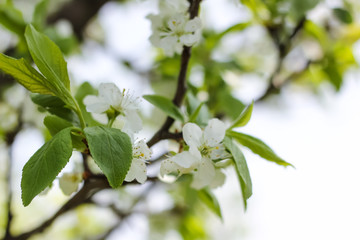 tree blooming with white beautiful flowers, spring awakens