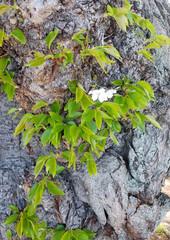 Cherry tree trunk detail