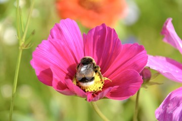 Sommerwiese -Blüte mit Hummel