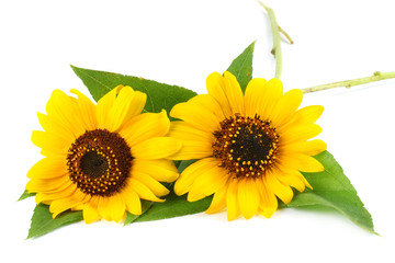 Sunflower with green leaf isolated on white background