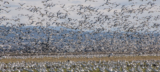 Snow goose (Anser caerulescens) colony, Skagit Valley, Washington State, USA