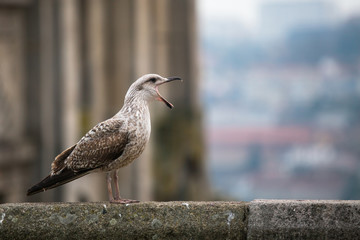 Screaming Seagull closeup.
