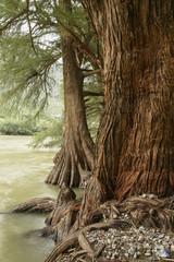 Roots of ahuehuetes growing along banks of Nazas River in Canon de Fernandez State Park, Durango, Mexico