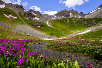 Purple flowers over snow in mountains, Ice Lakes, Colorado, USA