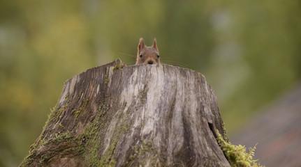 Red squirrel (Sciurus vulgaris) peeking out of tree stump, Bispgarden, Jamtland, Sweden