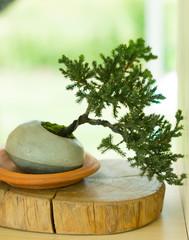 pine bonsai tree in pot