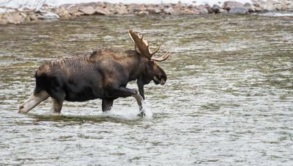 Moose in Jasper, Alberta