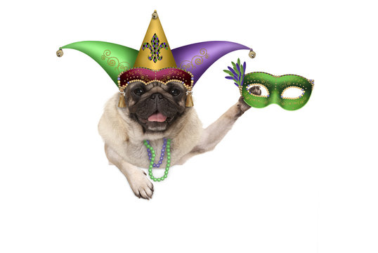 Mardi gras pug puppy dog with carnival harlequin hat and venetian mask hanging on blank banner, isolated on white background