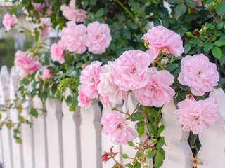 Close up of fresh pink rose growing over white wooden garden fence.