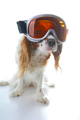 Skiing ski eyewear glasses on dog. Cavalier king charles spaniel on isolated white studio background.