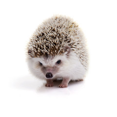 Little hedgehog looking forward on white background.