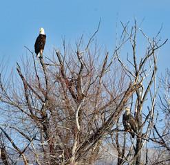 Bald Eagle on Tree Top
