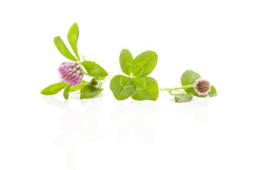 Clover isolated.