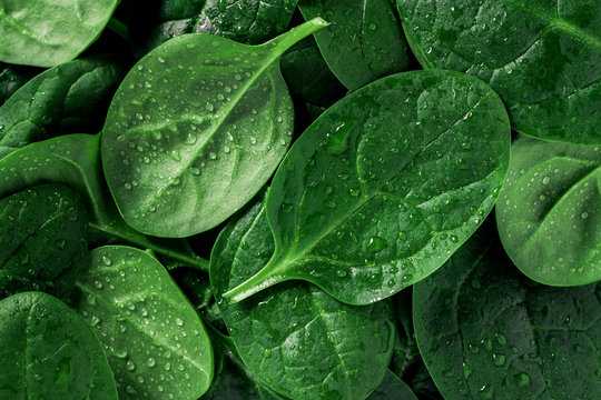 Macro photography of fresh spinach. Concept of organic food.