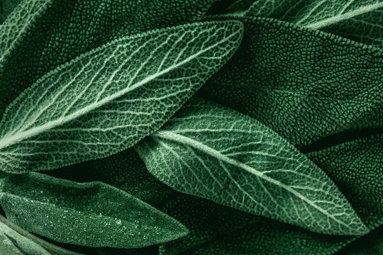Macro photography of fresh sage. Concept of organic food.