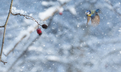 Frosty red berry in the forest a snowy day