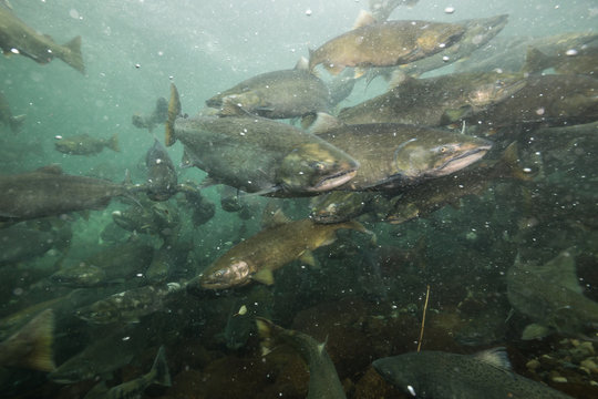 Underwater Picture in a river of Salmon Spawning. Taken in Chilliwack, East of Vancouver, British Columbia, Canada.