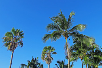Tropical beautiful coconut palms against the background of a bright blue sky.