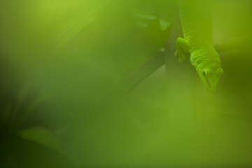 Close up view of a green Gecko in natural environnement