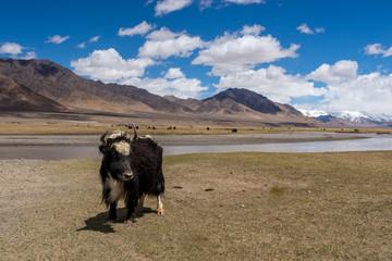 Pamir yaks