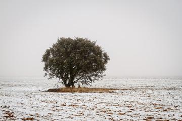 Encina, campo agrícola nevado y niebla en invierno. Quercus ilex.