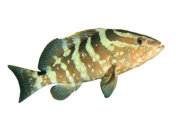 Nassau Groouper fish isolated on white background