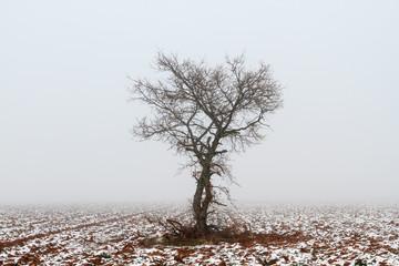 Roble, campo agrícola con nieve y niebla en invierno. Quercus.