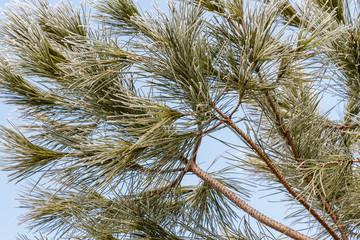 Ramas, acículas con escarcha de pino piñonero. Pinus pinea.